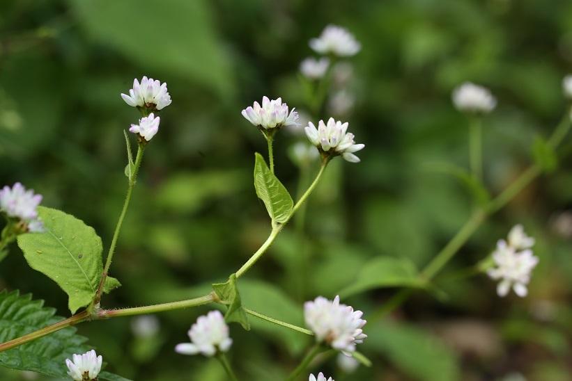 ミゾソバ白花