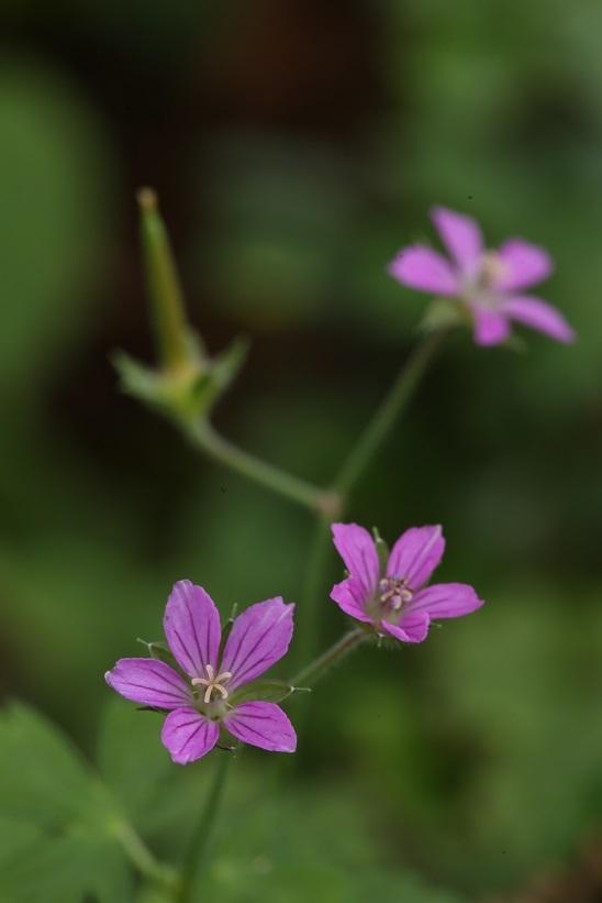 ゲンノショウコ赤花2