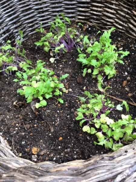 1007紫水菜
