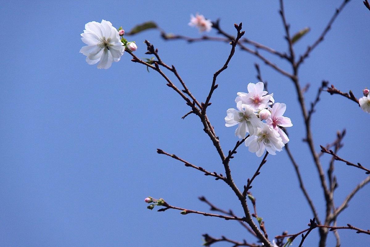 IMG_4418十月桜1007