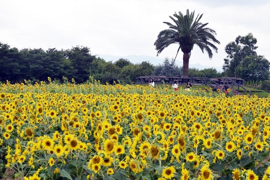 和泉・向日葵 (1)