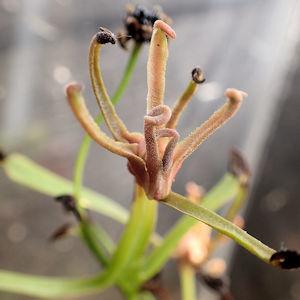 ハエトリソウの花茎②