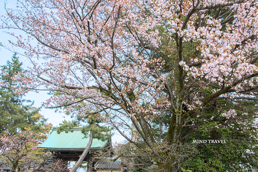 北野天満宮 東門 桜