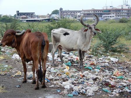 ゴミ漁りの牛たち