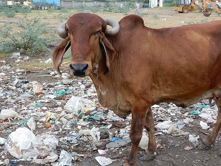 ゴミ漁りの牛