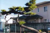 東海道立場の松