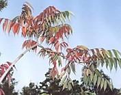 櫨の木紅葉