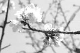 白子観音不断桜