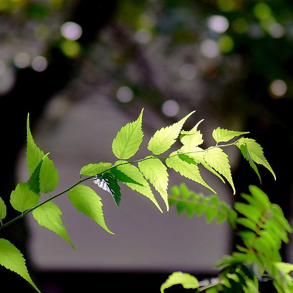 ヤマブキの葉