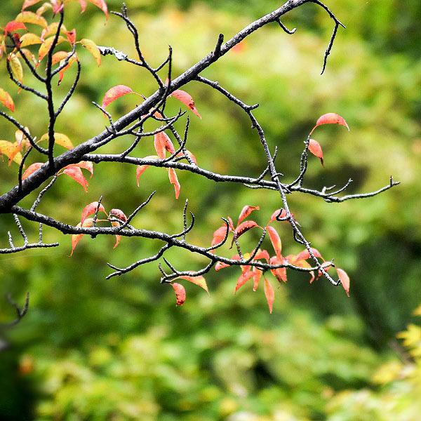 散る桜の葉