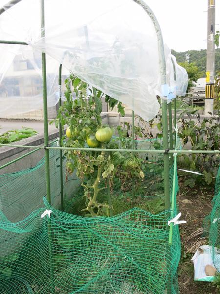 備忘録 大玉トマト 雨よけ