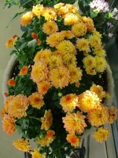 コーラル菊