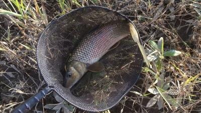 近くの川でニゴイを釣りました!!(YouTubeムービー)