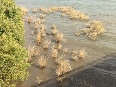 びわ湖大橋米プラザ裏のアシ原 濁りは普段の雨後並みになりました