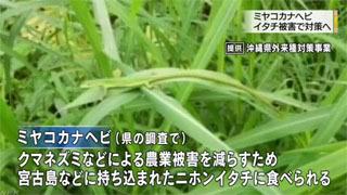 ニホンイタチによる食害が懸念される宮古島の準絶滅危惧種ミヤコカナヘビ