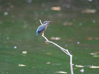 かい掘りから3カ月後の習志野市の池でエサを取るカワセミ