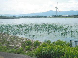 琵琶湖南湖赤野井湾にわずかに残ったハス群落