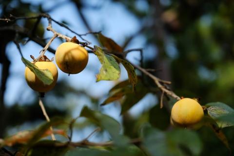 13秋の兆し柿