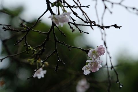 06大宮八幡十月桜