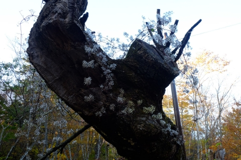 17枯れ木に花