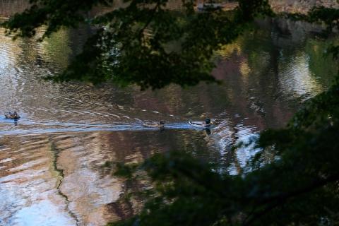 21池のカモ