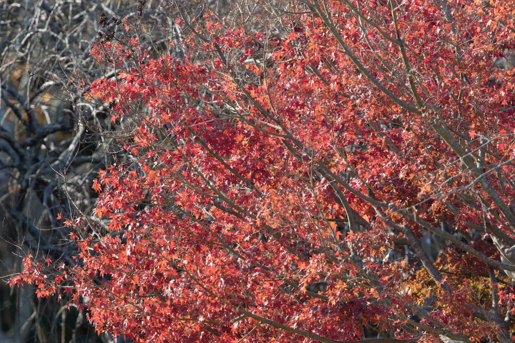 20171125-菖蒲園紅葉