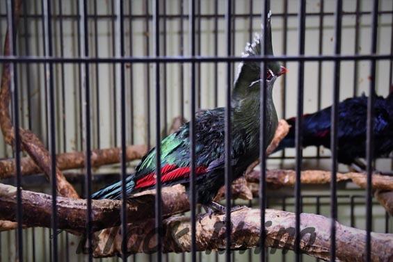 リビングストーンエボシドリ2 めっちゃさわれる動物園