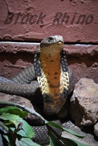 キングコブラ1 iZoo