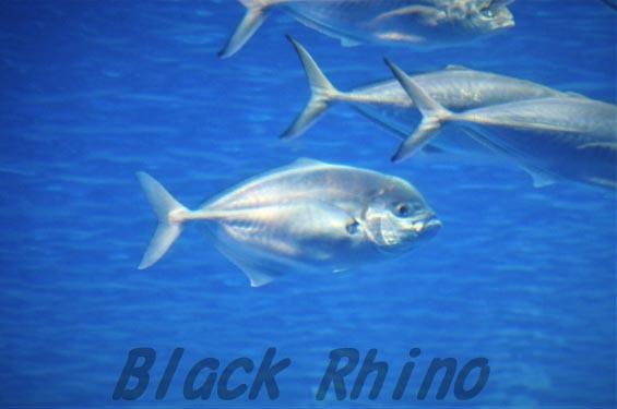 インドオキアジ 美ら海水族館