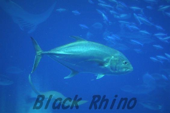 オニヒラアジ 美ら海水族館