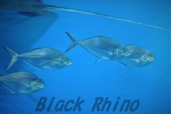 マブタシマアジ 美ら海水族館