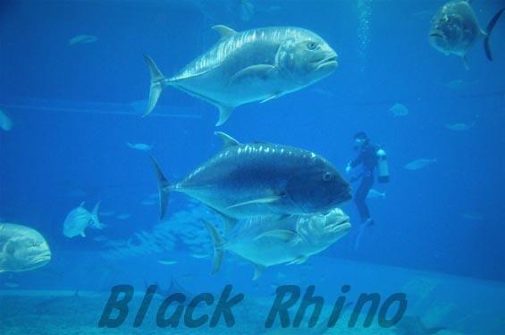 ロウニンアジ 美ら海水族館