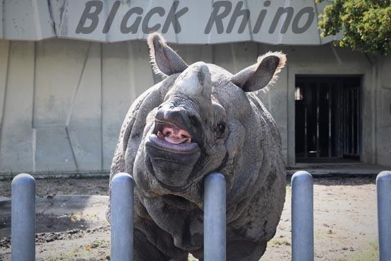 インドサイ セラ1 東山動物園