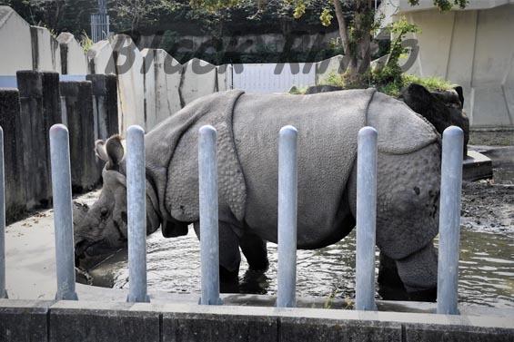 インドサイ セラ4 東山動物園