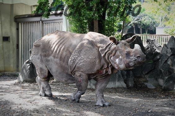 インドサイ ニルギリ2 東山動物園