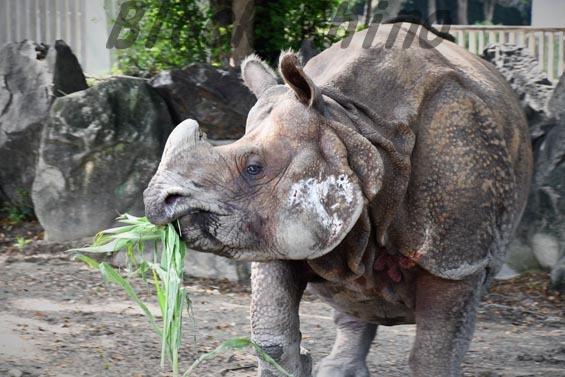 インドサイ ニルギリ3 東山動物園