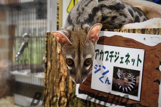 アカブチジェネット1 めっちゃさわれる動物園
