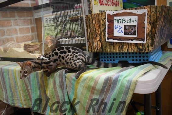 アカブチジェネット4 めっちゃさわれる動物園
