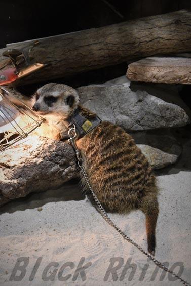 ミーアキャット1 めっちゃさわれる動物園
