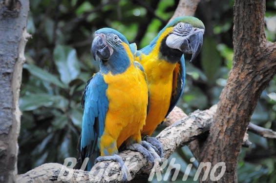 アオキコンゴウインコ ルリコンゴウインコ シンシナティ動物園
