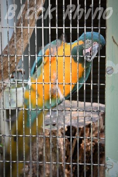 アオキコンゴウインコ1 東山動物園