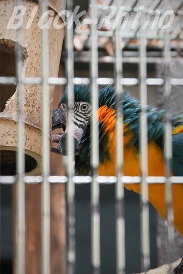 アオキコンゴウインコ3 東山動物園
