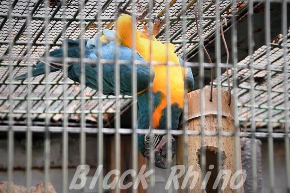 アオキコンゴウインコ5 東山動物園