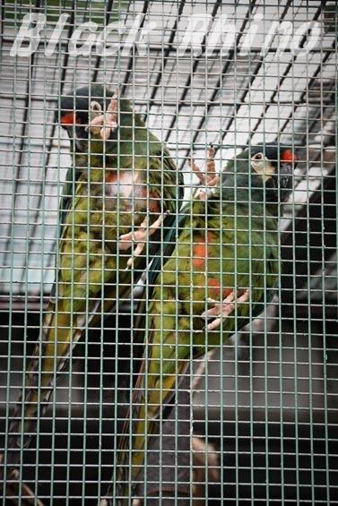 アカビタイヒメコンゴウインコ2 東山動物園