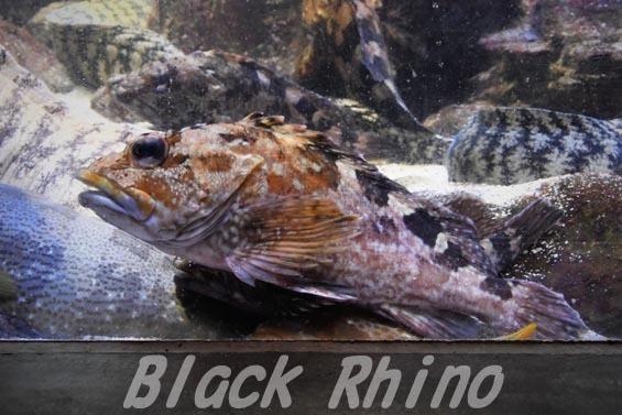 カサゴ1 鳥羽水族館