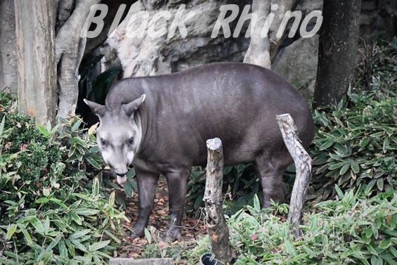 アメリカバク 上野動物園
