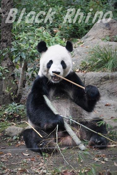 ジャイアントパンダ リーリー1 上野動物園