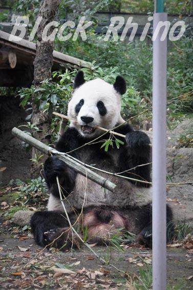 ジャイアントパンダ リーリー2 上野動物園