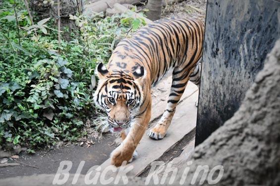 スマトラトラ 上野動物園