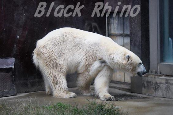 ホッキョクグマ イコロ 上野動物園